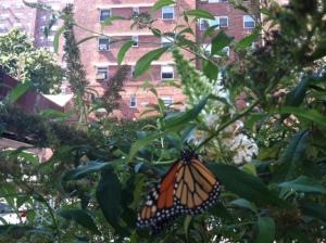 Monarch in September #3