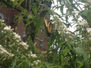 An Eastern Tiger Swallowtail checks out CVEarthlab.