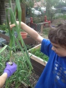 Nice garlic pull, Benji!