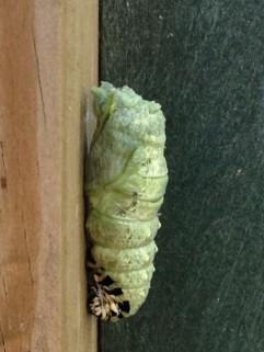 A close-up of the chrysalis.
