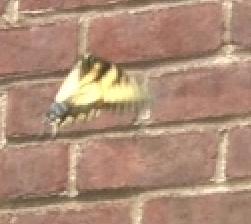 Eswallowtail