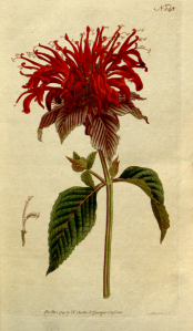 Monarda fistulas. This is a plate from The Botanical Magazine, Volume 5. 1792 http://www.biodiversitylibrary.org/item/7355. Author: William Curtis