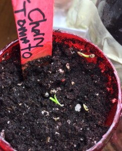 Peacevine Cherry Tomato sprouts; 4 1/2 days after planting.
