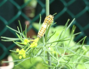Caterpillar on dill