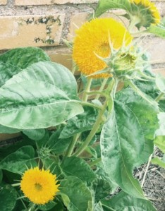 Dwarf sunflowers arrived in early August.
