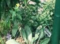 Primrose in bloom