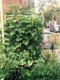 Cucumber corner.