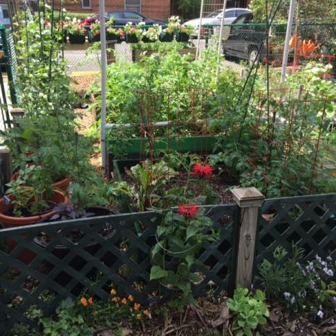 Bee balm and growing tomatoes