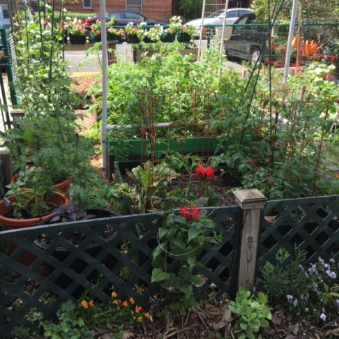 Bee balm and growing tomatoes