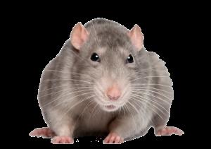 rat_mouse_PNG2461[1]
