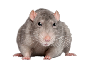 rat_mouse_PNG2461[1]