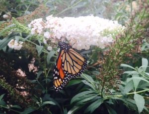 Monarch visits butterfly bush