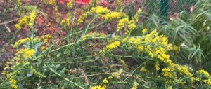 Fall goldenrod blooms