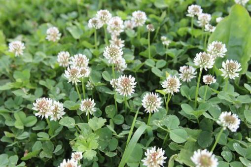 clover-plant_-_white-clover