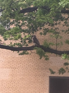 peregrine falcon 2 pics
