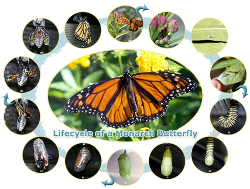 monarch-butterfly-lifecycle