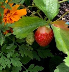 IMG_7401Strawberry
